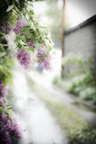 Lilacs in the Snow. Lilacs hang into the alley behind the pink house in Bozeman, Montana Royalty Free Stock Photos