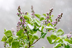 Lilacs in a snowfall Stock Photos
