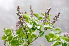 Lilacs in a snowfall Stock Photos