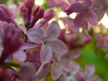 Lilacs In Spring Royalty Free Stock Image