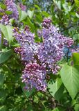 Lilacs in spring. Lilac flowers in full bloom michigan Stock Photography