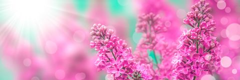 Lilacs In The Spring royalty free stock photo