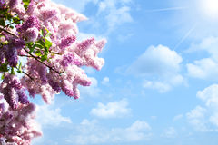 Lilacs tree. Against blue skies and sun, abstract backgrounds Royalty Free Stock Photos