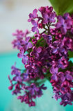 Lilacs on turquoise background,magic nice colors Stock Photos