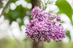 Lilacs Royalty Free Stock Photography