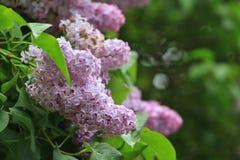 Lilacs violetas Fotografia de Stock Royalty Free