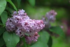 Lilacs violetas Imagens de Stock Royalty Free