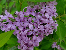 Lilacs welcome Spring. The color and fragrance of lilacs welcome spring to a Boise city park Stock Photography
