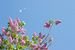 Lilacs1. Lilac blossoms against a blue sky Royalty Free Stock Image