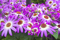 LilacSenetti flowers. Stock Photos