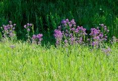 Lilaflox för grönt gräs arkivfoton