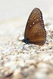 Lilagalandefjäril royaltyfri fotografi