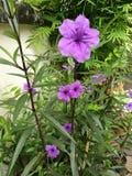 Lilan blommar att blomma Royaltyfri Bild