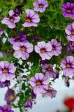 Lilan blommar att hänga från en korg i trädgården Fotografering för Bildbyråer