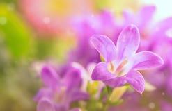 Lilan blommar bakgrund Fotografering för Bildbyråer