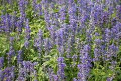 Lilan blommar, den purpurfärgade salviaen, salviablommor i trädgården Arkivfoton