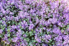 Lilan blommar i bakgrunden royaltyfria foton