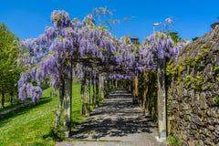 Lilan blommar i Belvis parkerar i Santiago de Compostela, Spanien Arkivbilder