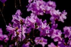 Lilan blommar i en vårsäsong Royaltyfria Foton