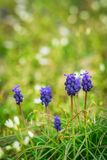Lilan blommar i gräs arkivbilder