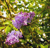 Lilan blommar i sommarsolen Royaltyfri Fotografi