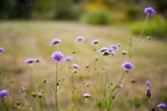Lilan blommar i trädgård i sommar Arkivbild