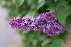 Lilan blommar i trädgården Arkivfoto