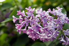 Lilan blommar i trädgården Arkivfoton