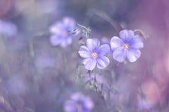 Lilan blommar linne på en härlig konstbakgrund Blommor av lin Royaltyfri Fotografi