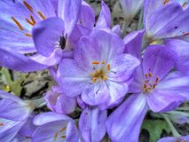 Lilan blommar med pesky flys royaltyfri foto