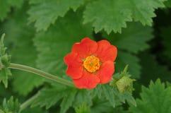 Lilan blommar närbild Arkivfoton