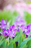Lilan blommar på den gröna rosa bakgrunden Royaltyfri Fotografi