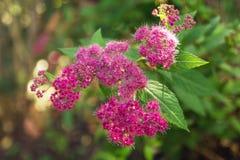 Lilan blommar på en grön bakgrund, bästa sikt Arkivfoto