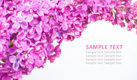 Lilan blommar på vit bakgrund med prövkopiatext Fotografering för Bildbyråer