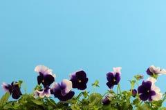 Lilan blommar (pansies) med bakgrund för himmelblått Royaltyfria Bilder