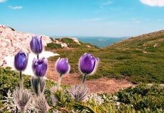 Lilan blommar Pulsatillapatens i bergen arkivfoton