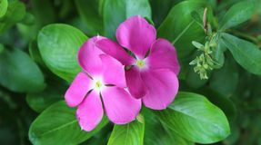 Lilan blommar Sada Suhagan Royaltyfri Foto