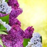 Lilan blommar trädet Royaltyfria Bilder