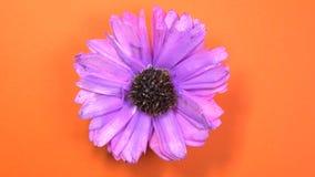 Lilan färgade kosmos blommar rotering långsamt på en roterande orange bakgrund lager videofilmer