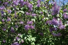 Lilan för blomningbusken blommar i vår Arkivfoto