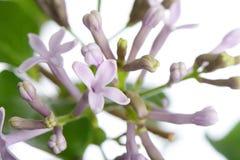 Lilan för lilamissen kim blommar på en filial Arkivbild