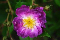 lilan steg Royaltyfri Bild