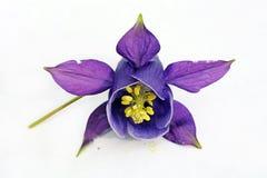 A lilane aquilegia blossom Stock Photography