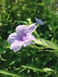Lilaregnblomma i trädgården Arkivfoton