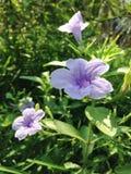 Lilaregnblomma i trädgården Arkivbilder