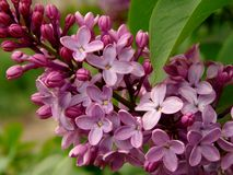 Lilas Photo stock