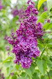 lilas Photographie stock