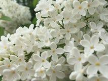 lilas Image libre de droits