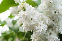 Lilas blanc Image libre de droits