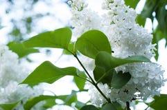 Lilas blanc Photos libres de droits
